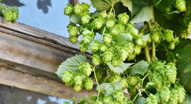 houblon ingrédient bière artisanale